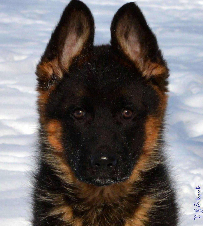 German Shepherd Strong And Loyal Shepherd Puppies German
