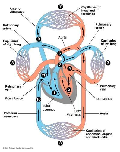Heart Circulation Diagram | Herbs that help to remove toxins from ...
