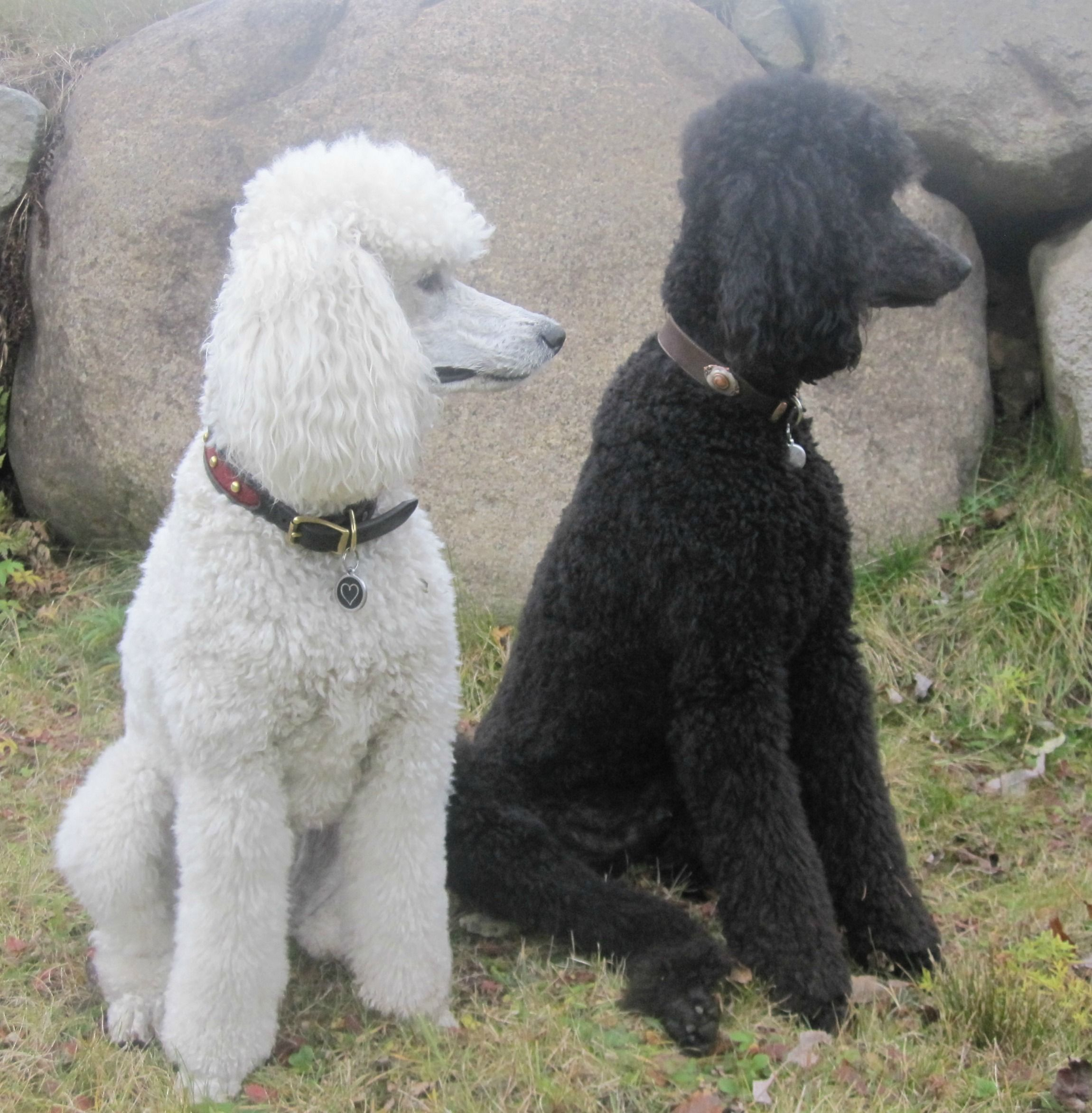 Jackson And Brie Poodle Bichon Frise Dog Breeds