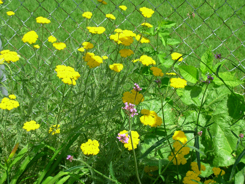 Achillea 'Coronation Gold' and Verbena bonariensis