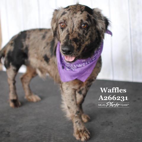 Check Out Waffles On Petfinder Https Www Petfinder Com Petdetail 38594859 Basset Hound Mix