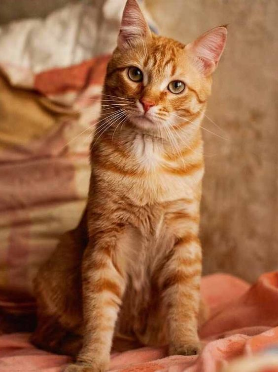 Cat Facts Why Orange Cats Are Usually Male Orange tabby