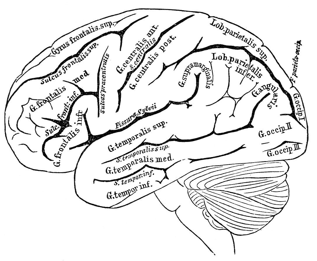 Pin By Mariana Wexler On Brain On Board Anatomy Coloring Book Heart Coloring Pages Brain Illustration