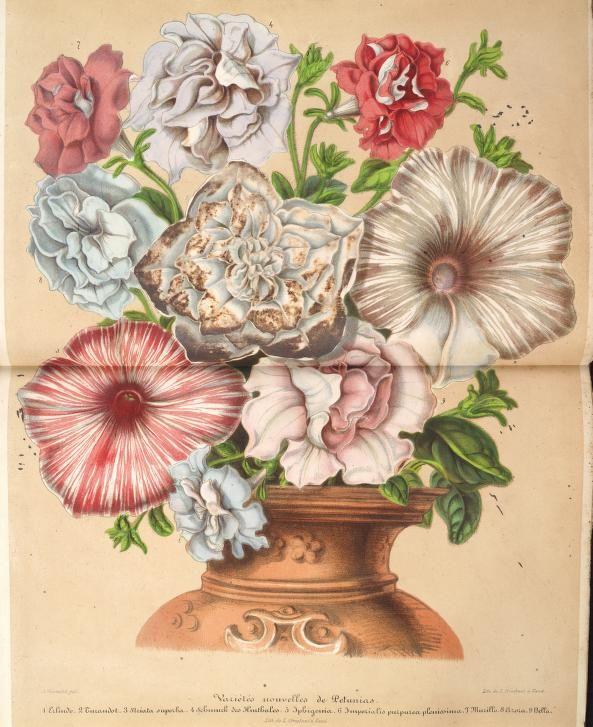 Bouquet of variegated Petunias.Plate from 'L'Illustration Horticole' (1858) by Charles Antoine Lemaire. Published by Gand, Belgium: Imprimerie et lithographie de F. et E. Gyselnyck, Missouri Botanical Gardenarchive.org