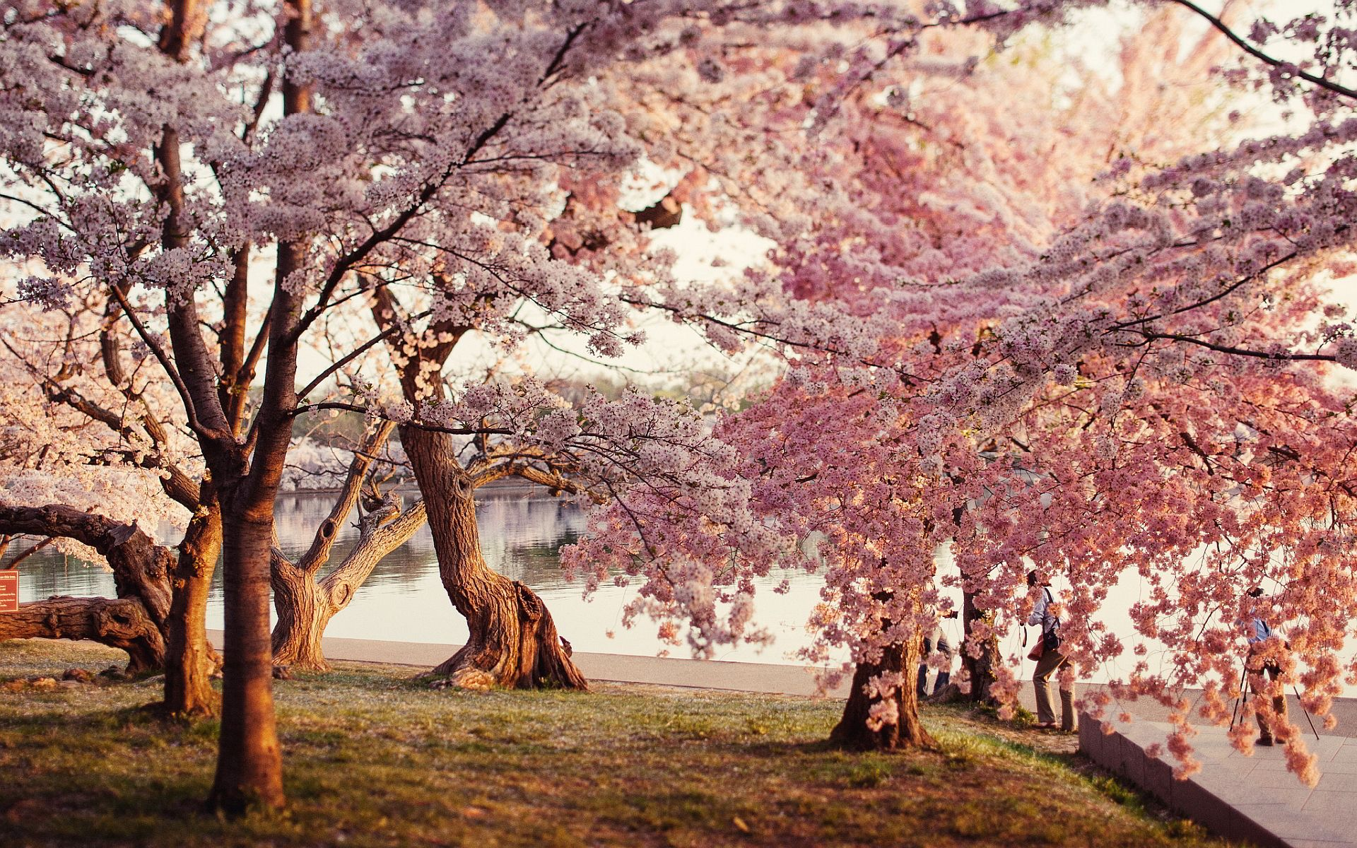 Japanese Cherry Blossom Garden Wallpaper Photo With