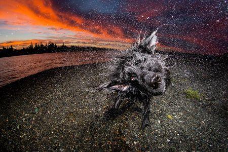 Kona Shakeoff By Eiko Jones Newfoundland Dog Shaking Off Water