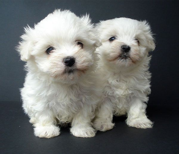 Maltese Terriers Just Like Mahyar S White Puppies Terrier