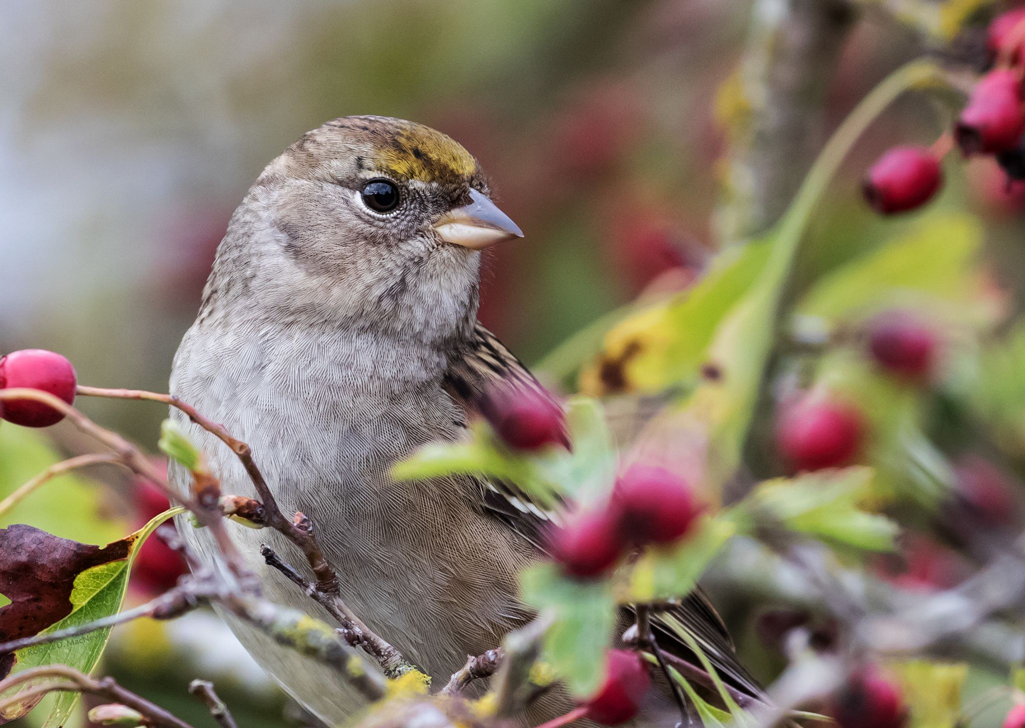 A portrait of a young Golden-crowned Sparrow, pausing among the berries on his migration south.  They're considered a medium-distance migrant. The entire population migrates in flocks from their breeding grounds in Northern British Columbia, Yukon, and Alaska, down the West Coast to the wintering grounds along the American coast, and back up the same route in the spring.