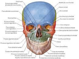 Resultado De Imagem Para Anatomia Humana Atlas De Anatomia