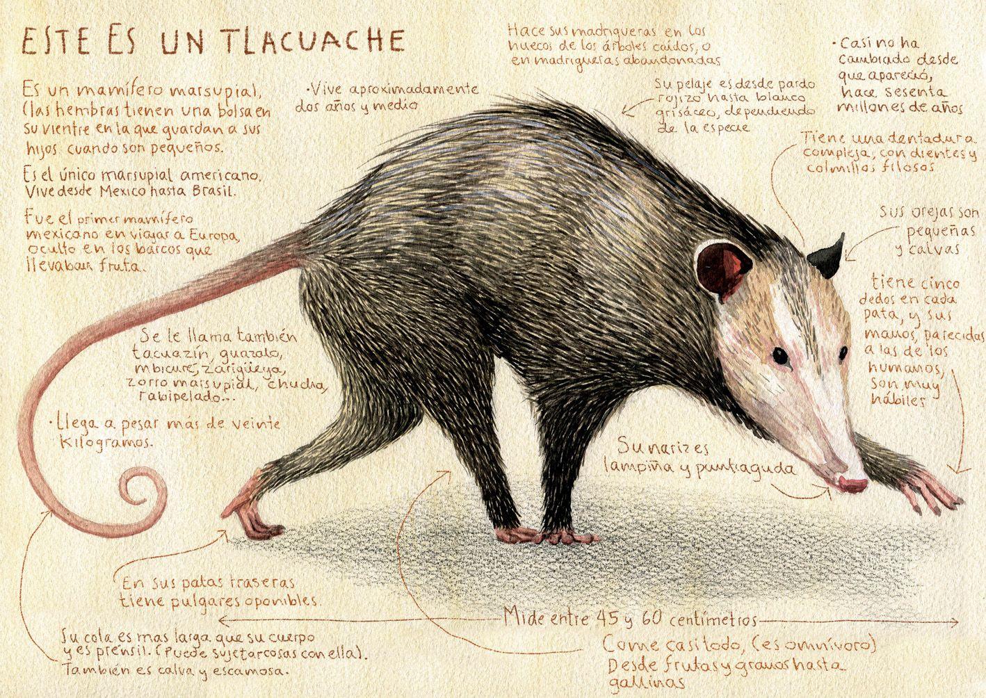 El Titulo Provisional El Tlacuache El Tlacuache Ilustraciones De Animales Juan Palomino