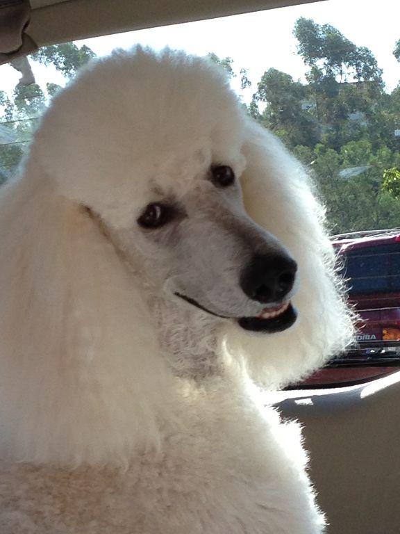 Gallery Poodle Poodle Dog Dog Love