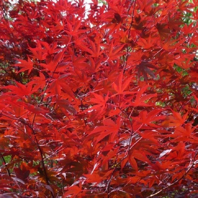 Small Trees For Borders: Trees With Red Leaves, Acer