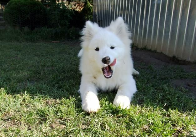 Siberian Husky Cross Samoyed Google Search Husky Samoyed