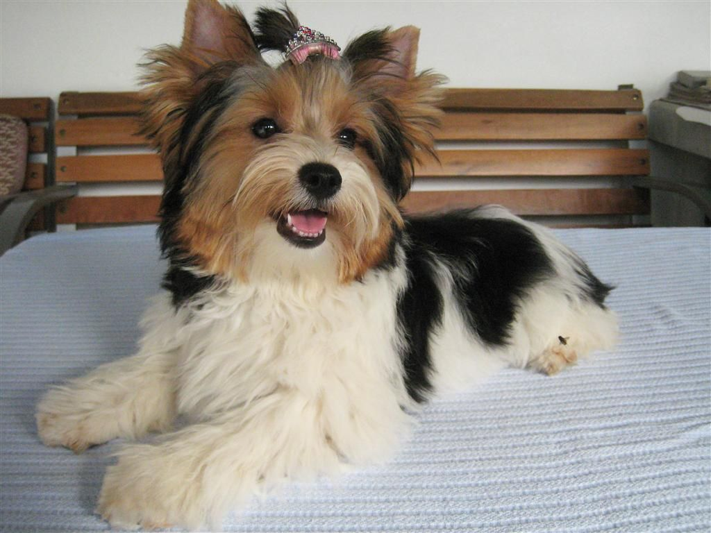 Biewer Yorkshire Terrier History Biewer Yorkshire Terrier Girl
