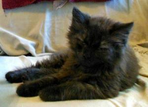 Adopt Forrest Juju On Norwegian Forest Cat Forest Cat Animals