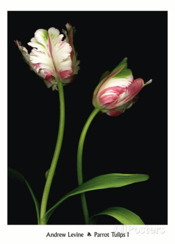 Parrot Tulips I Prints by Andrew Levine at AllPosters.com