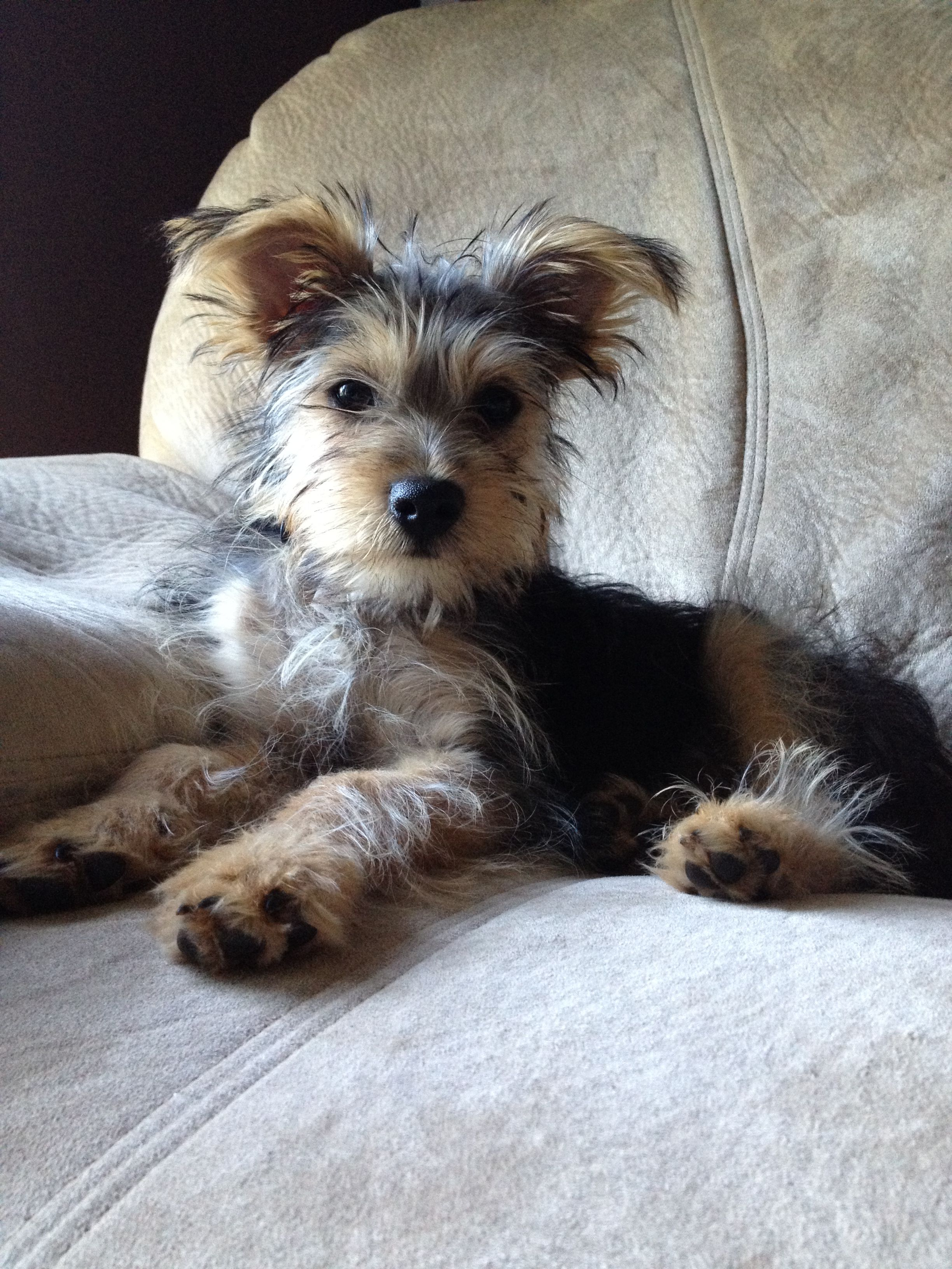 Snorkie yorkie and schnauzer mix! I will have one someday