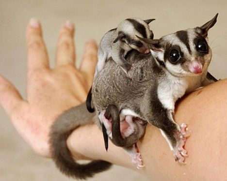 A mother and baby sugar glider holding onto a human arm.