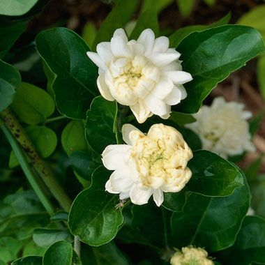 Jasmine Complement The Scent Of Holiday Conifers With The Subtle