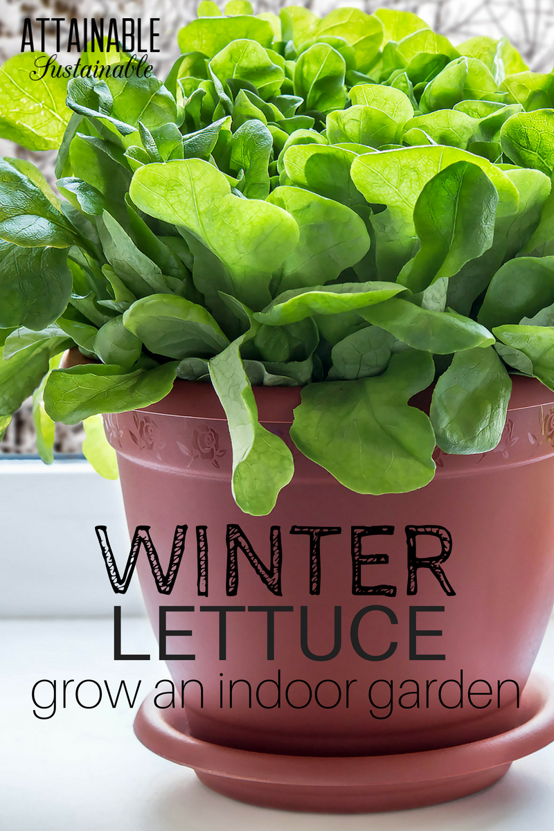 Growing lettuce in an indoor winter garden for fresh greens mini jardines mi mejor y verduras - Salads can grow pots eat fresh ...