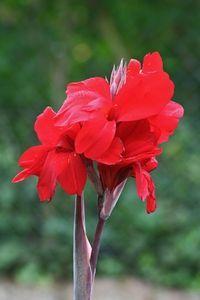 prune canna lilies