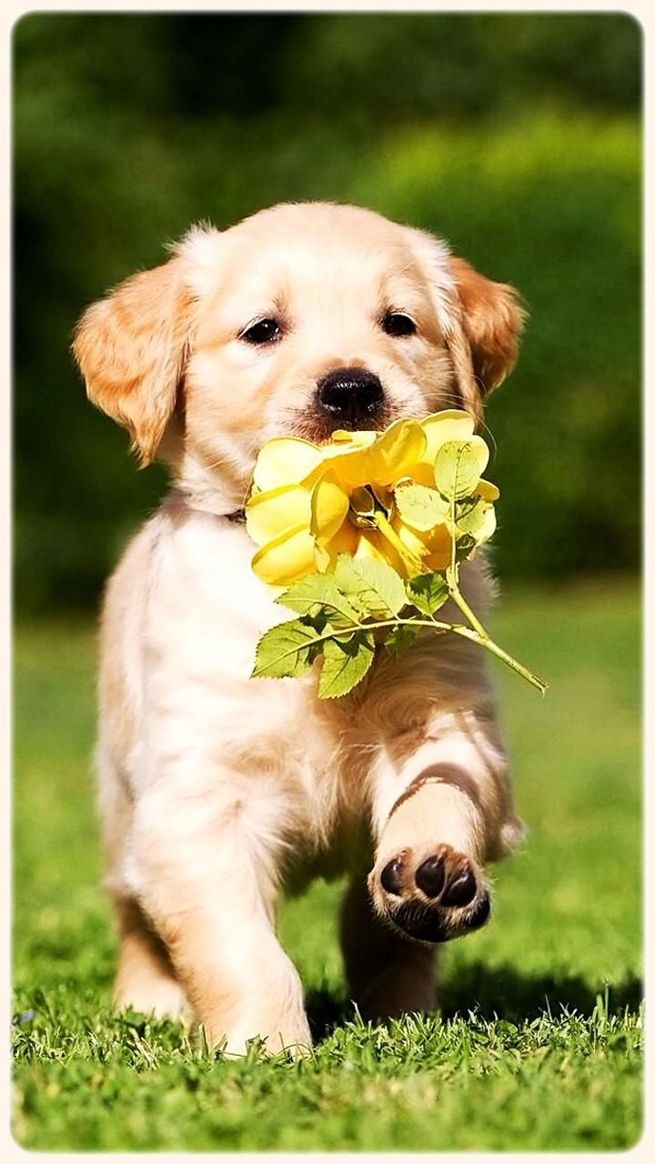 Hd Golden Retriever Wallpapers Pets Dogs For Android Apk Golden Retriever Puppy 4k Hd Wallpapers Backgrounds Cute Animals Golden Retriever Wallpaper Animals