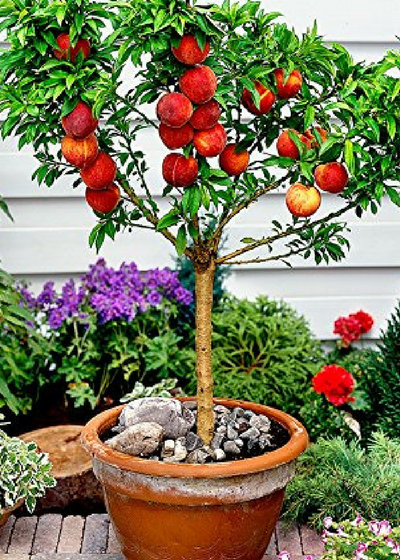 4 Garden Fruit To Grow In Containers Dwarf Fruit Trees Growing Fruit Trees Peach Trees