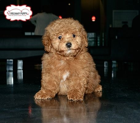 Located in Chantilly, Virginia, Dreamy Puppy is a unique and
