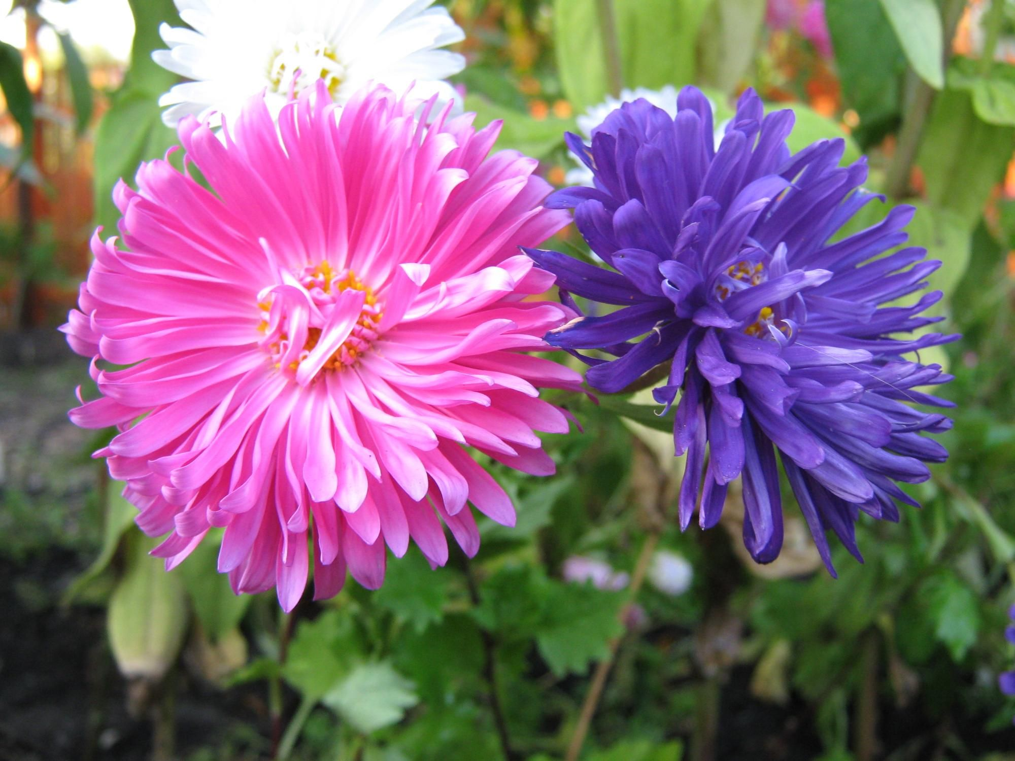 Pink And Purple Asters Aster Flower Colorful Flowers Pretty Flowers