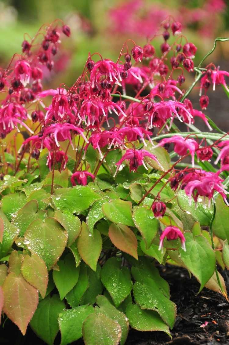 Sehr Interessante Farbkombination Von Der Elfenblume Garten