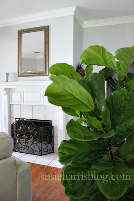 The Famous Fiddle Leaf Fig House Plants For House