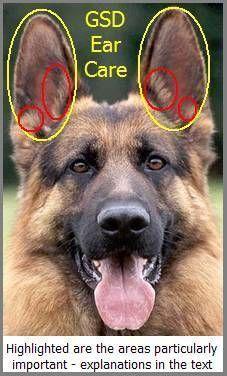 Gsd Ear Care German Shepherd Ears German Shepherd Care