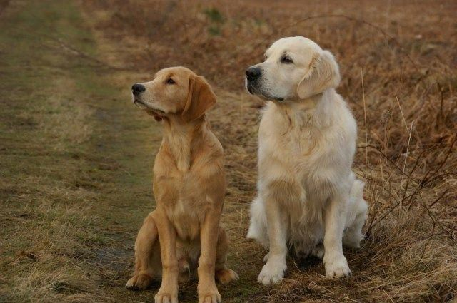 The Golden Retriever Coat Colors Goldenretrieversphotography