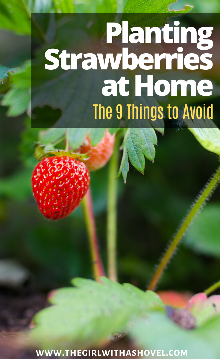 If you're looking to plant strawberries this year, then make sure that you avoid doing these 9 things… This will get you bigger, better, and more strawberries!