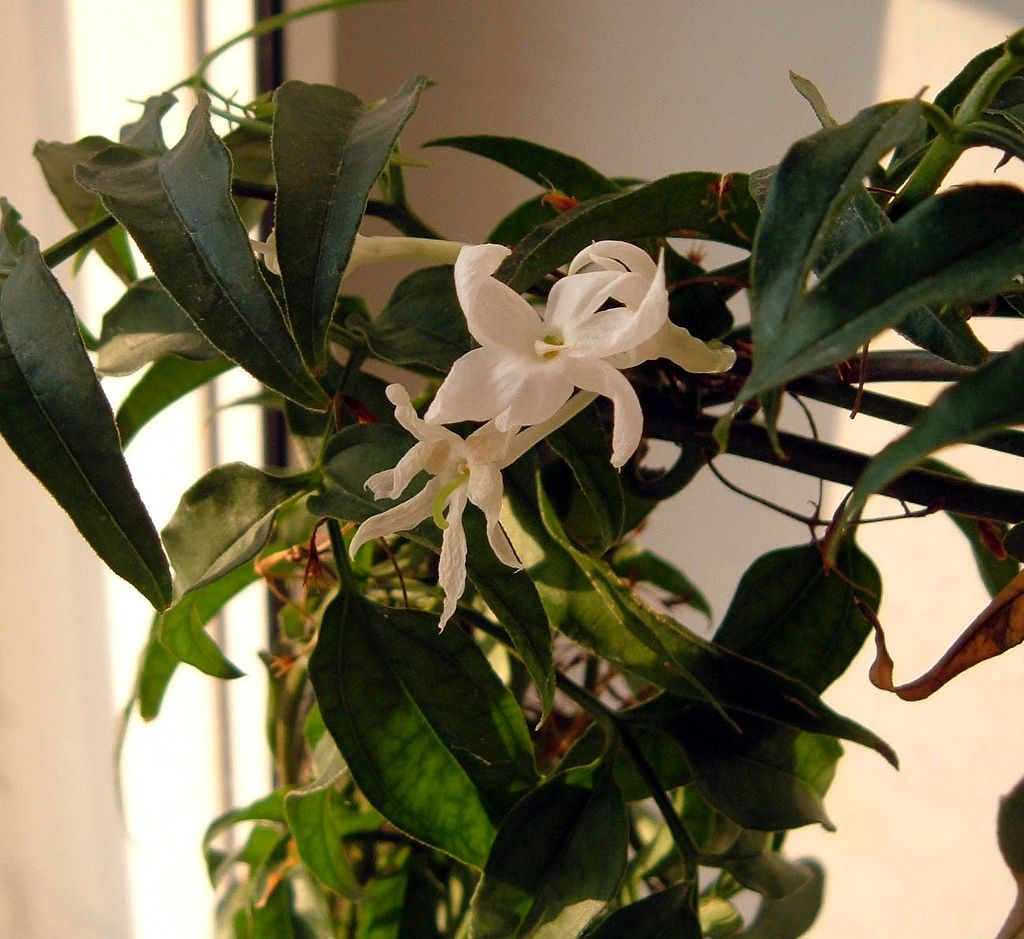 Growing jasmine indoors care of indoor jasmine plants for the garden if winter blooms and sweet nighttime fragrance appeal to your senses consider growing jasmine indoors not all jasmine flowers are fragrant izmirmasajfo