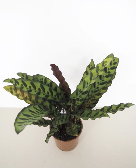 Rare Unusual House Plants House Of Kojo Plants House Plants Cool Plants