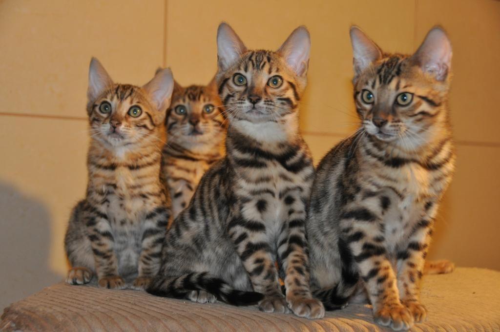 Kot Bengalski Bengalskie Kocieta Bengal Koty 5469183871 Oficjalne Archiwum Allegro Cats Animals