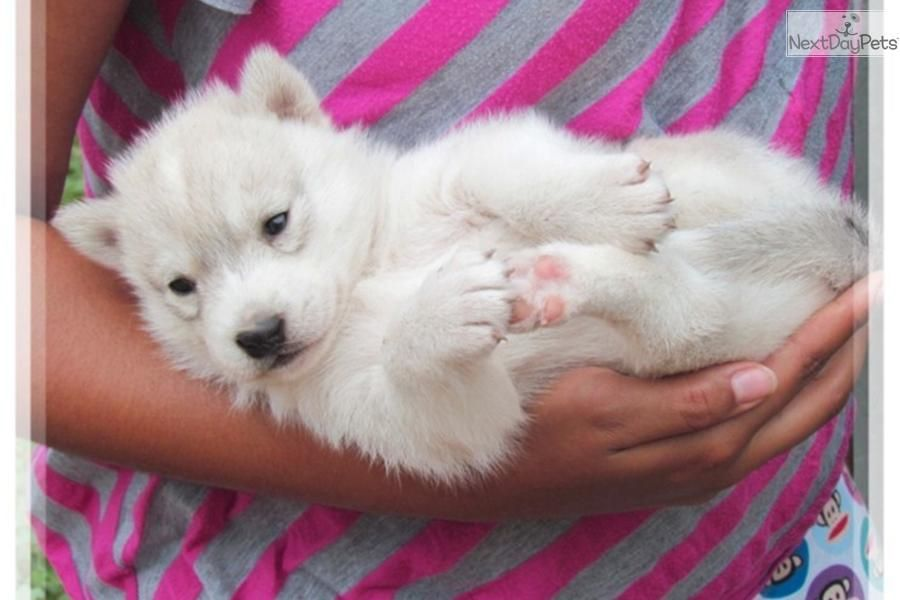 Meet Red Girl A Cute Wolf Hybrid Puppy For Sale For 600 Red Wolf