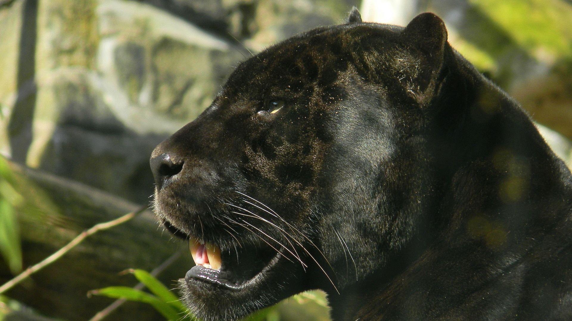 Panther Full Hd Desktop Wallpapers 1080p Panther Black Panther Animals