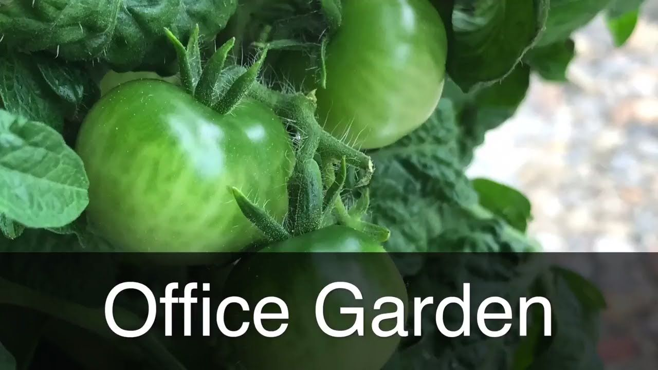 Office Gardening Using The Kratky Method And Aerogarden 640 x 480