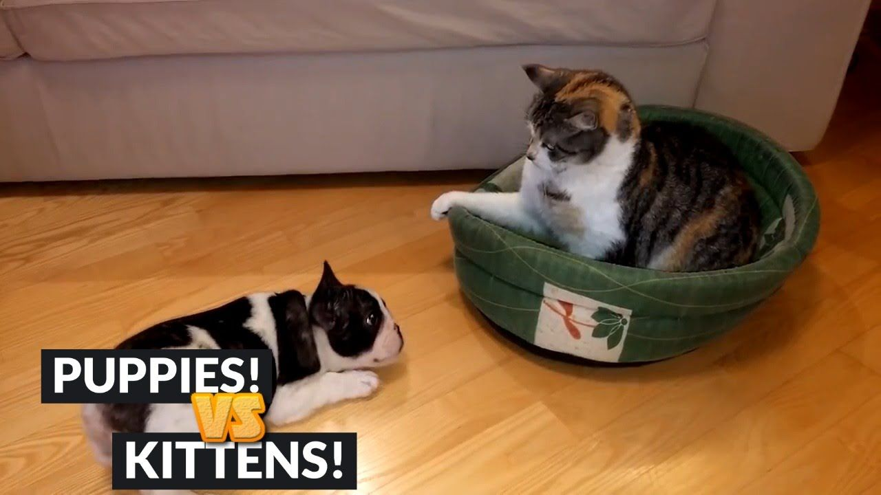 French Bulldog Puppy Wants His Bed Back From The Cat Thief And