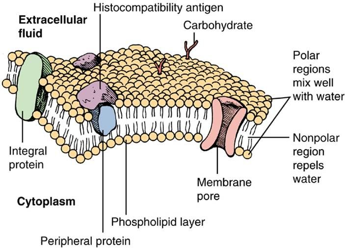 Schematic diagram of a cell membrane cell structure function schematic diagram of a cell membrane cell structure function pinterest cell membrane cell structure and cell biology ccuart Images