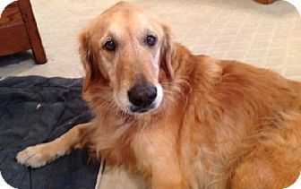 Kendall From Southern California Golden Retriever Rescue Is