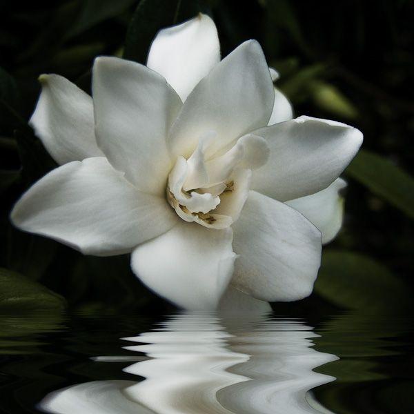 Gardenia Best Smell In The World Summer 3 Flower Garden