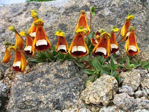 Pantoffelblume aus Patagonien im Brockengarten.