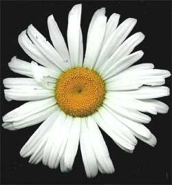 Mum Flower Chrysanthemum Mums Flowers Flowers Potted Mums