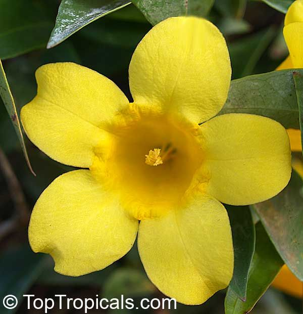 Yellow Jasmine Flower Google Search Jasmine Flower Ornamental Plants Flower Meanings