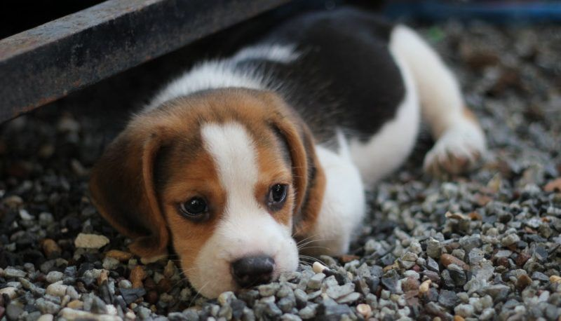 Can Cats And Dogs Live Together Hmmm Wha Dogs Beagle Puppy