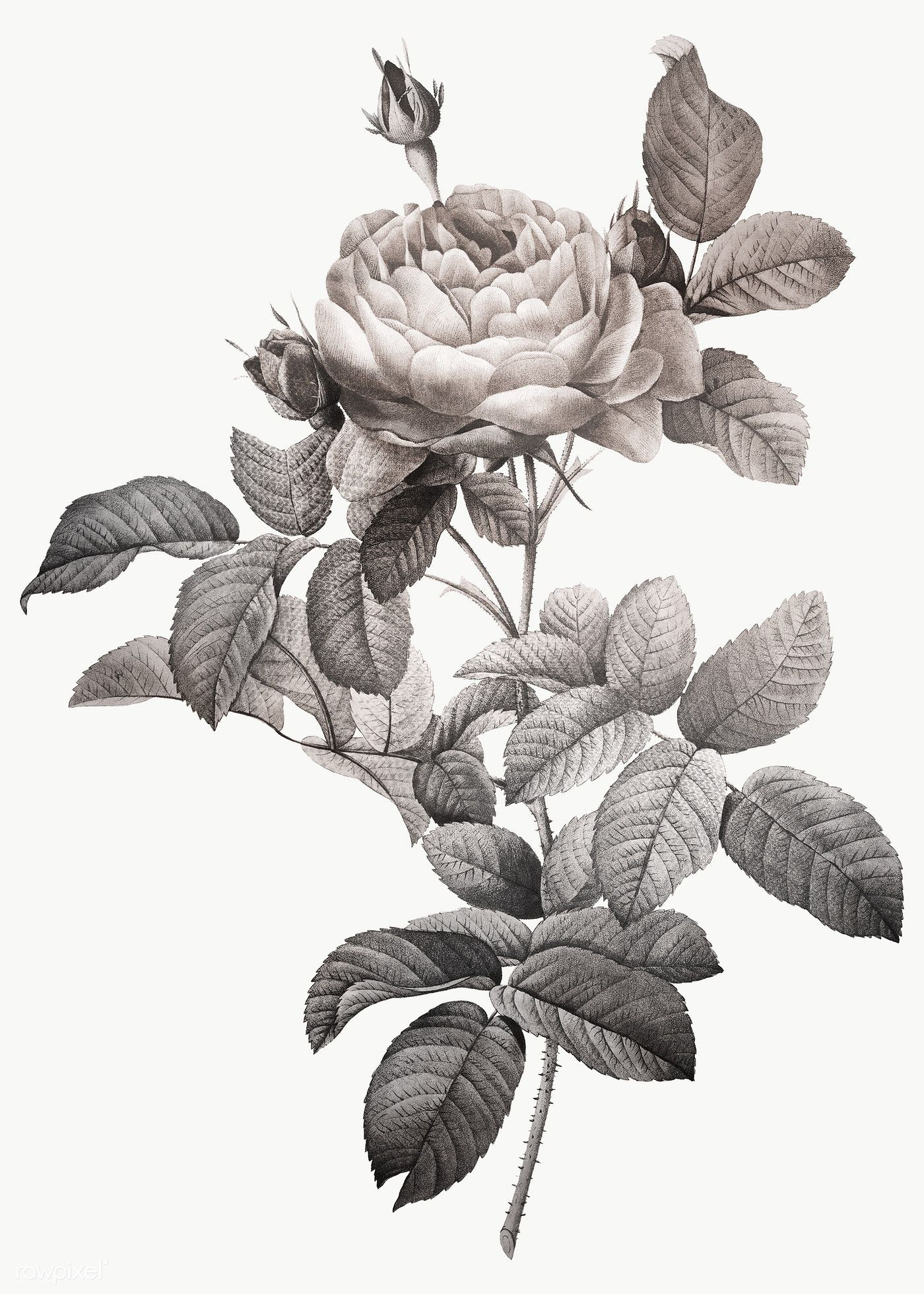 Gray Rose Vintage Illustration Transparent Png Design Remix From Original Artwork By Pierre Joseph Redout E In 2020 Rose Illustration Vintage Illustration Illustration