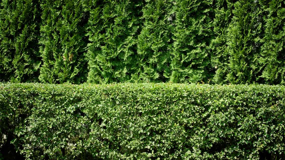 Fast Growing Shrubs Make Great Hedges For A Privacy Screen Or To Hide Eyesores Here S Advice Privacy Plants Fence Plants Privacy Hedge